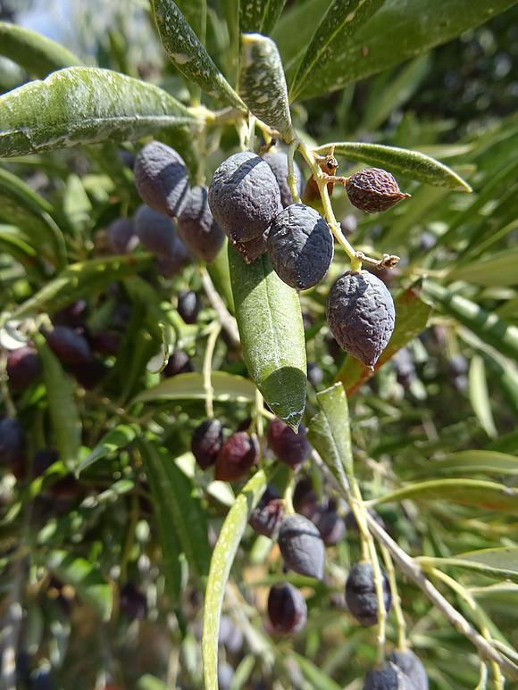 Es ist wieder soweit: Jetzt naturbelassenes Olivenöl aus Griechenland bestellen